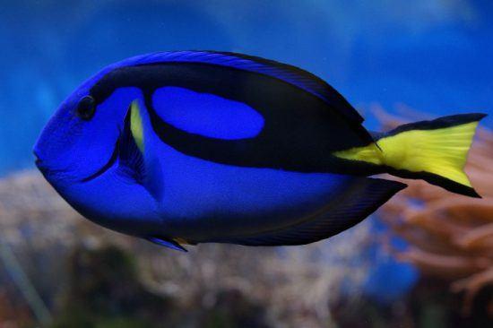 Ein blauer Paletten-Doktorfisch unter Wasser