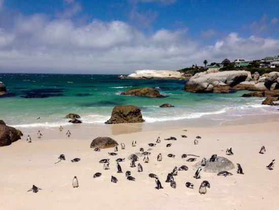 Zahlreiche Pinguine am Sandstrand von Boulders Beach