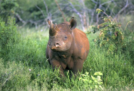Los rinocerontes negros no son negros, son grises