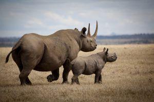El rinoceronte negro es uno de los Big 5