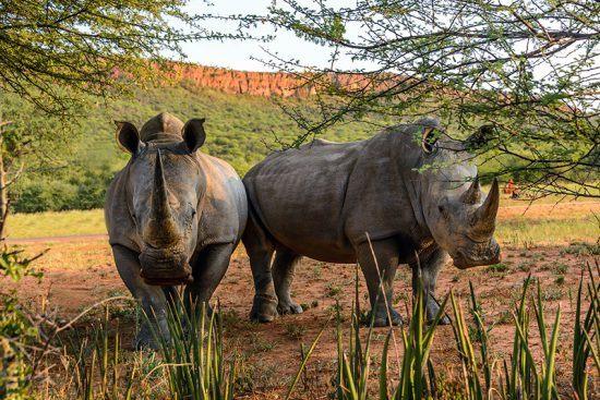 Dois rinocerontes ao redor de Waterberg Plateau Lodge