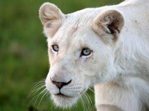 Lionne blanche à Timbavati