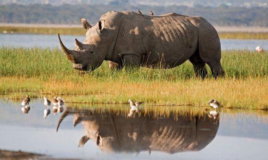 Breitmaulnashorn umgeben von Vögeln spiegelt sich im Okavango Delta im Wasser