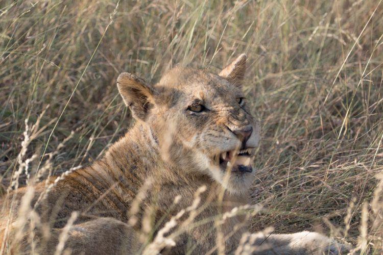 Lionceau dans la réserve de Sabi Sand, Parc National du Kruger, Afrique du Sud.