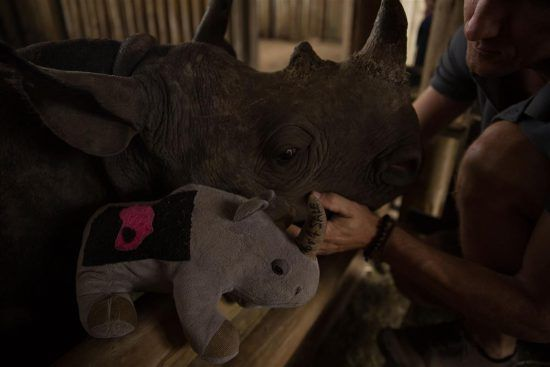 An orphaned rhino being cared for at a rhino orphanage.