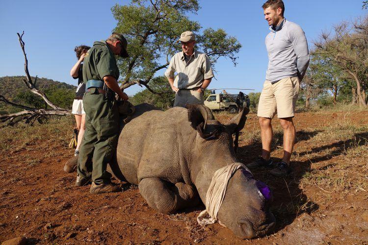 Rhinocéros après une opération pour enlever ses cornes et le protéger du braconnage.