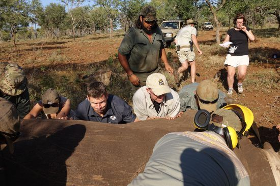 Volunteers of Wildlife ACT working on a rhino