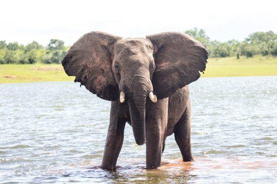 Lake kariba bull elephant