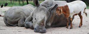 """Para luchar contra la caza furtiva, HESC fundó el programa """"Rescued Rhinos"""" para la rehabilitación y reintroducción de estos animales en África."""