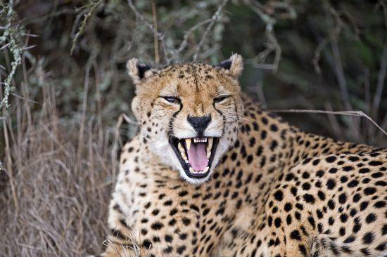 Gepard im Amakhala Game Reserve