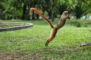 Los lémures son una especie en peligro de extinción.