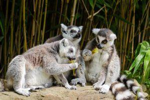 Un grupo de lémures de cola anillada comiendo bambú.