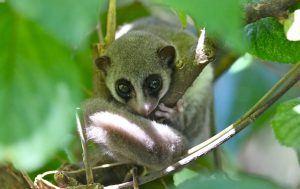 Un lémur ratón gris sobre una rama.