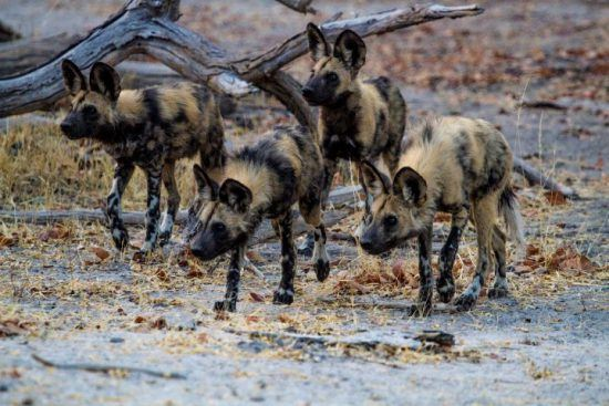 Four African Wild Dogs close together on a hunt