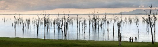 Lake Kariba's shore is covered by drowned trees