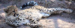 El programa de crianza de HESC tiene como objetivo el nacimiento de guepardos con distintos linajes genéticos.