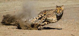 Los guepardos son capaces de alcanzar los 100 k/h en distancias cortas