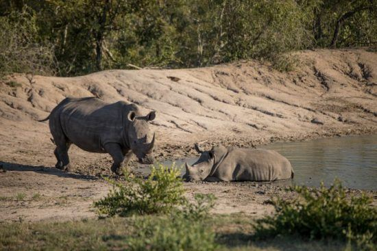 A rhino with her calf at the waterhole