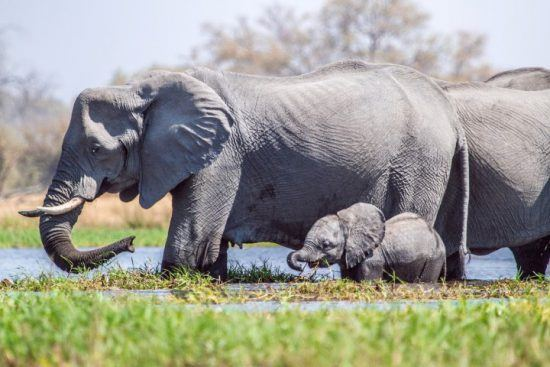 An elephant with her calf in the water