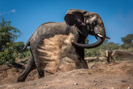 Ein großer Elefant bewirft sich mit Sand, um sich vor der Sonne zu schützen