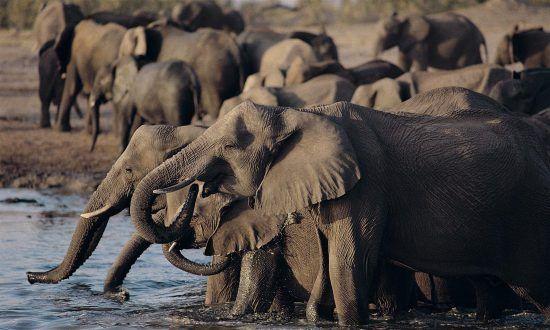 Eine Herde Elefanten im Hwange Nationalpark in Simbabwe beim Trinken