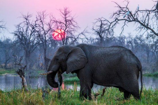 An elephant feeds while the sun sets behind, Botswana