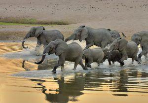 Eine Herde Elefanten schreitet bei Sonnenuntergang durchs Wasser