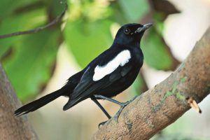 Exotischer Vogel auf einem Baum auf den Seychellen