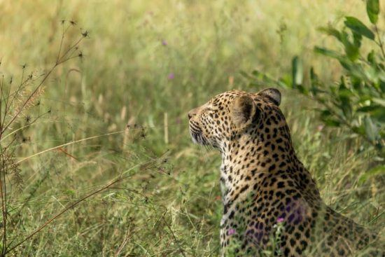 A leopard sitting in long grass