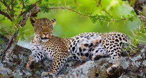 Gracias a sus garras, los leopardos puedes subir a los árboles y relajarse tranquilamente sobre sus ramas