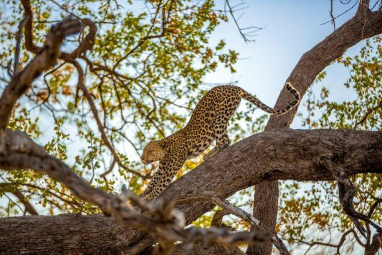 A leopard stretching on a tree branch