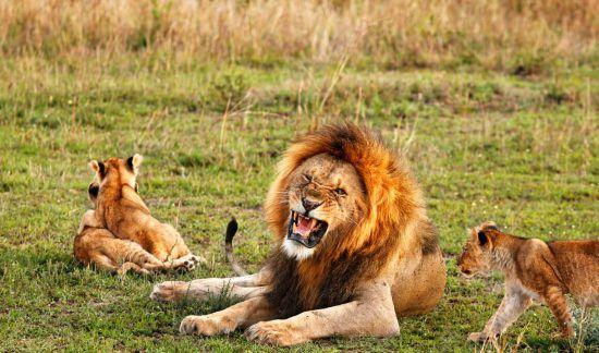 Ein großer Löwe und zwei Junge, die um ihn herumlaufen in grüner Wiese