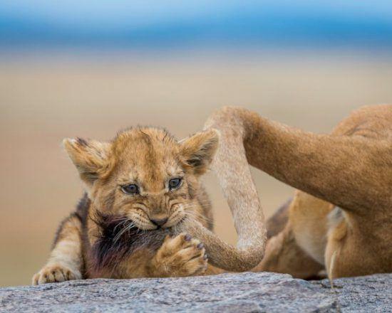 Petit lionceau mordant la queue de sa mère dans la savane.