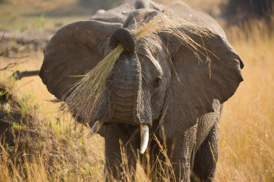 A young elephant holding a bunch of long grass