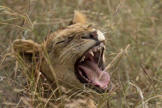 A lion cub yawns and reveals its teeth