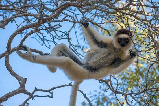 Ein Lemur hängt in der Baumrone