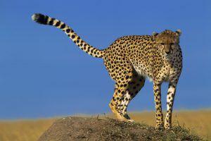 Una de las diferencias entre gupardo y leopardo es la forma de su cola