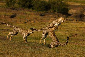 Un grupo de gupardos jugando entre ellos