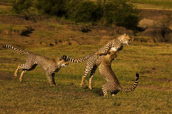 A group of cheetahs play fighting