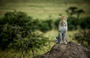 Guepardo y leopardo no pueden encontrarse exactamente en los mismos territorios