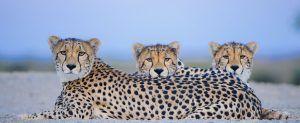 Guepardo y leopardo no poseen un pelaje idéntico