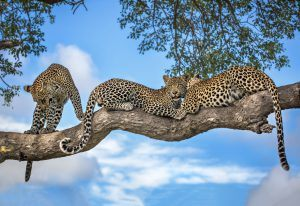 Un grupo de leopardos descansando sobre la rama de un árbol
