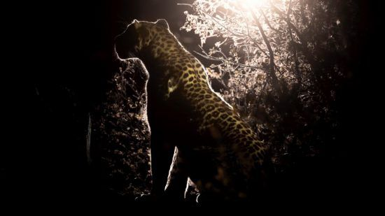 A leopard with a lamp casting a half-silhouette