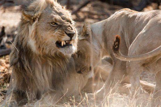 A lion snarling at a lioness