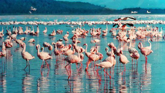 Viele Flamingos stehen im Wasser in Kenia