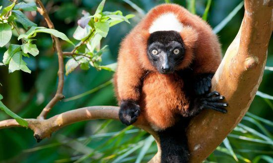 rotes Lemur auf einem Ast sitzend in Madagaskar