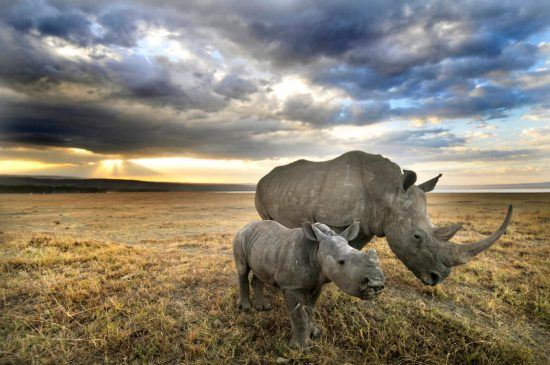 Two rhinos (mother and baby) in Africa