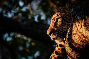 Al caer el sol los leopardos se preparan para cazar