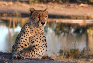 El color de ojos de los guepardos suele ser oscuro