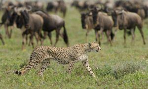 Un gupardo paseando frente a una manada de ñus.